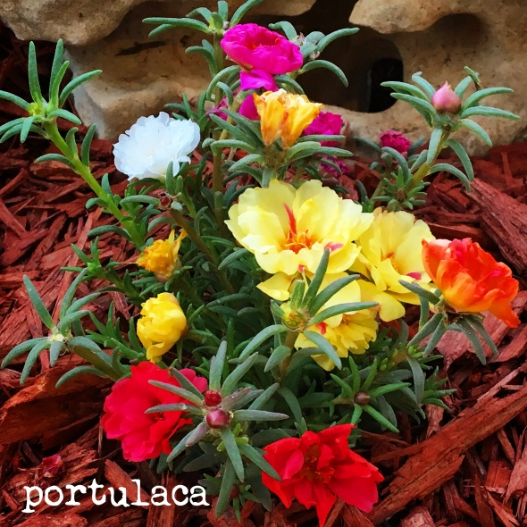 A picture of Portulaca from Betty's Cook Nook